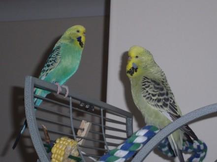 Raspy & Atilla