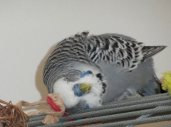 Phineas sorting out head feathers