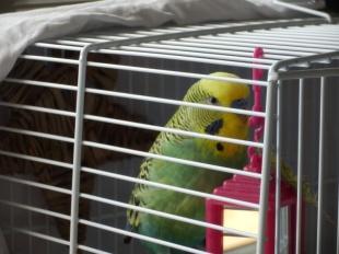 Bezukhov in travel cage prior to vet visit