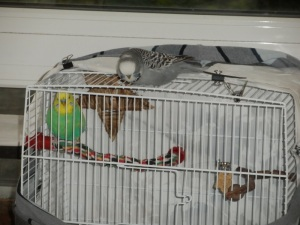 Cagney in the travel cage & Phineas visiting