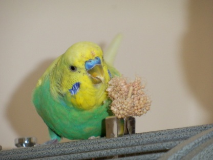 Cagney eating millet