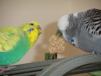 Cagney & Phineas sharing millet