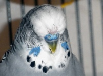 Phineas moulting above his cere
