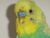 Cagney moulting above his cere