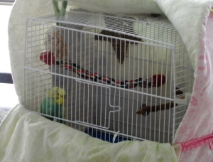 Cagney in travel cage