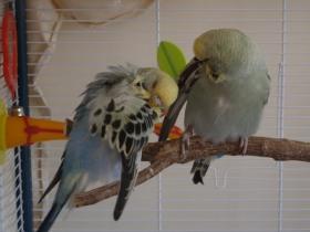 Raspy & Atilla preening
