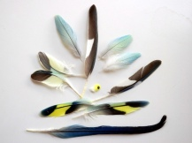 One day feather loss