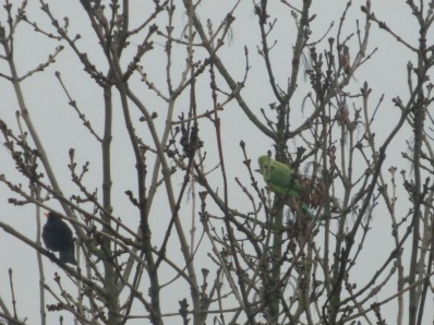 Wild ring-necked parakeets