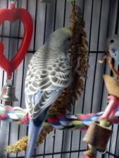 Lennie eating millet