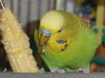 Dalai eating corn