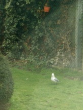 Seagull on the grass