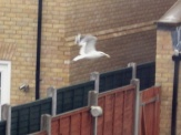 Seagull flying over the fences