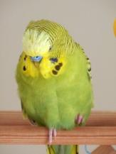 Dalai's pin feathers