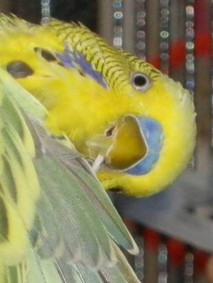 Close-up of Dalai chewing on end of troublesome feather