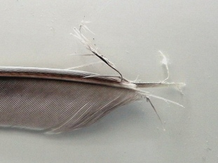 Mangled end of troublesome feather