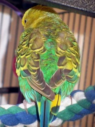 Dalai's lopsided wings
