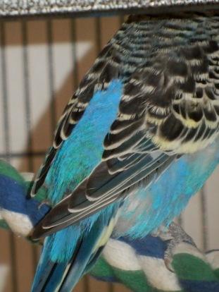 Lennie's lopsided wings