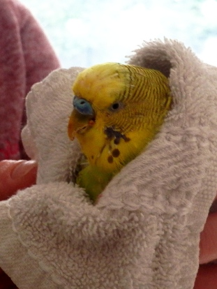 Dalai's trimmed beak & strange growth prior to removal