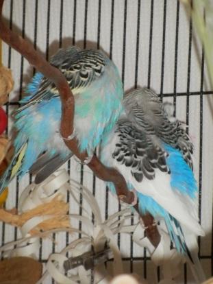 Lennie & Perry preening